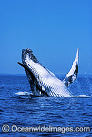 Humpback Whale breaching Photo - Mark Simmons