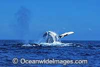 Humpback Whale breaching expelling air photo