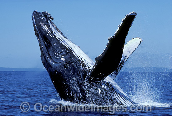 Humpback Whale (Megaptera novaeangliae) - breaching on surface. Hervey Bay, Queensland, Australia. Classified Vulnerable on the IUCN Red List.