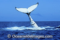 Humpback Whale tail fluke Photo - Mark Simmons