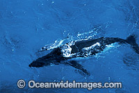 Aerial view of Humpback Whale mother with calf photo