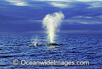 Humpback Whale expelling air from blowhole image
