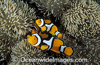 Eastern Clownfish Amphiprion percula photo