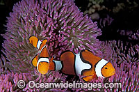 Clown Anemonefish Photo - Gary Bell
