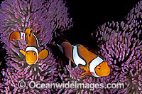 Amphiprion percula Clown Anemonefish Photo - Gary Bell