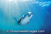 Dugong Sea Cow photo