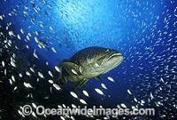 Giant Grouper Queensland Grouper Photo - Bob Halstead