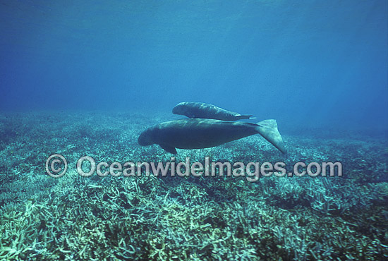 Dugong (Dugong dugon) - mother and calf. Also known as Sea Cow. Indo-Pacific. Classified Vulnerable on the IUCN Red List. Now a Protected species.