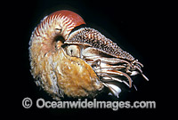 Chambered Nautilus Nautilus scrobiculatus stock photo
