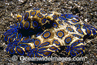 Greater Blue-ringed Octopus Hapalochlaena lunulata Photo - Bob Halstead