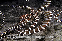 Wonderpus Octopus Wunderpus photogenicus Photo - Bob Halstead