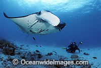 Scuba Diver photographing Manta Ray Photo - Bob Halstead