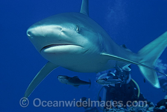 Silvertip Shark Photos Pictures Images