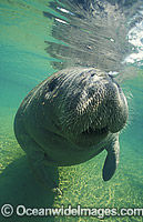 Florida Manatee Photo - Lin Sutherland
