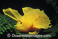 Golden Weedfish Cristiceps aurantiacus Photo - Bill Boyle