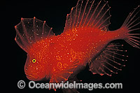 Red Velvetfish Photo - Bill Boyle