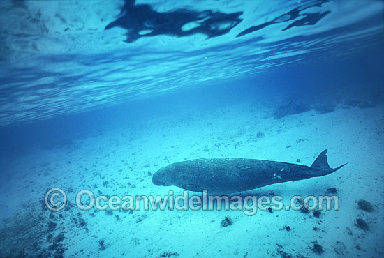Dugong mother and calf photo