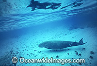 Dugong mother and calf image