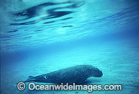 Dugong Photo - Bill Boyle