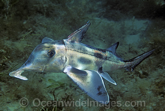 elephant shark facts image search results
