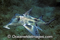 Elephant Shark Callorhinchus miliiBur Photo - Bill Boyle