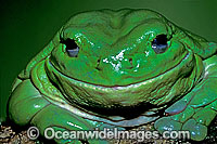 Green Tree Frog Litoria caerulea Photo - Gary Bell