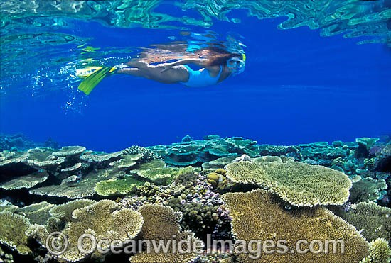 Female Snorkel Diver / Snorkeler exploring Acropora Coral reef. Great Barrier Reef, Queensland, Australia Photo - Gary Bell