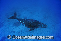 Humpback Whale adolescent underwater Photo - Gary Bell