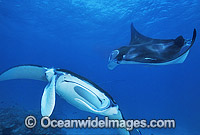 Manta Rays Manta birostris photo