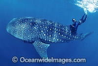 Whale Shark and Snorkeler Photo - Gary Bell