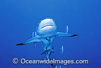 Grey Reef Shark with Remora and Jacks image