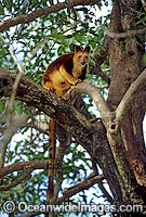 Goodfellows Tree-kangaroo Photo - Gary Bell