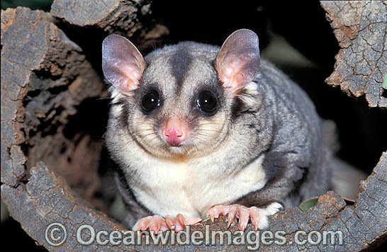 Squirrel Glider (Petaurus norfolcensis). South East Queensland, Australia. Listed on IUCN Red List as Lower Risk - Near Threatened Photo - Gary Bell