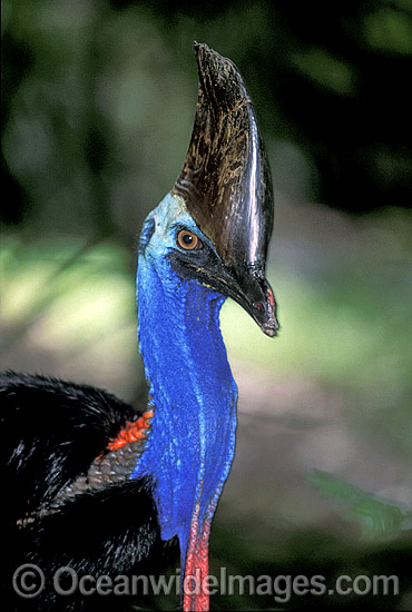 Southern Cassowary (Casuarius casuarius). Dangerous bird when provoked - has attacked and killed people. Tropical Rainforest, North Queensland, Australia. Rare and endangered. Protected species. Photo - Gary Bell