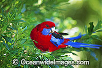 Crimson Rosella Platycercus elegans photo