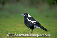 Black-Backed Magpie Gymnorhina tibicen photo