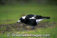 Black-Backed Australian Magpie photo