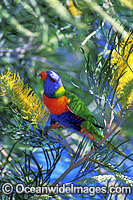 Rainbow Lorikeet Trichoglossus haematodus photo