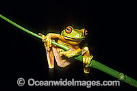 Red-eyed Tree Frog Litoria chloris Photo - Gary Bell