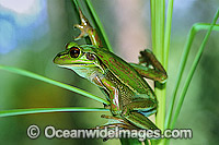 Green Golden Bell Frog Litoria aurea Photo - Gary Bell