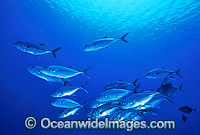 Schooling Big-eye Trevally Photo - Gary Bell