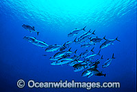 Schooling Big-eye Trevally Caranx sexfasciatus Photo - Gary Bell