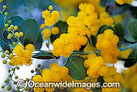 Golden Wattle wildflower Photo - Gary Bell