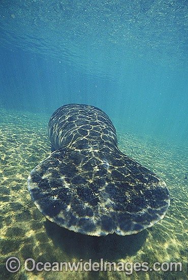 Florida Manatee (Trichechus manatus latirostris) -showing paddle-like tail. Also known as Sea Cow. Crystal River, Florida, United States of America. Classified Endangered Species on the IUCN Red list.