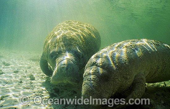 Florida Manatee (Trichechus manatus latirostris). Also known as Sea Cow. Crystal River, Florida, United States of America. Classified Endangered Species on the IUCN Red list.