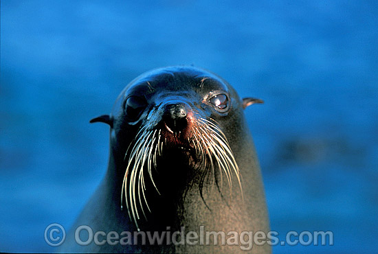 New Zealand Fur Seal (Arctocephalus forsteri) - cow. Neptune Islands, South Australia. Listed as Low Risk on the IUCN Red List. Photo - Gary Bell