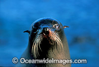 New Zealand Fur Seal cow Photo - Gary Bell
