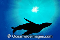 New Zealand Fur Seal silhouetted Photo - Gary Bell