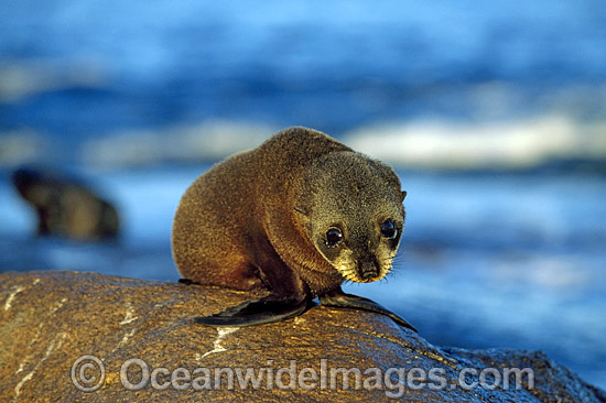 New Zealand Fur Seal (Arctocephalus forsteri) - pup. Neptune Islands, South Australia. Classified Low Risk on the IUCN Red List. Photo - Gary Bell