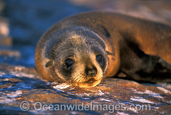 New Zealand Fur Seal cow photo